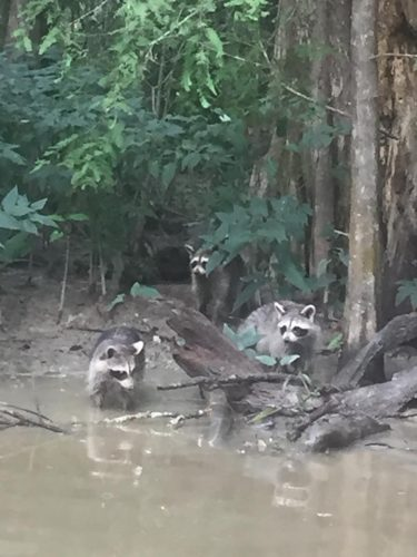 Three raccoons having fun