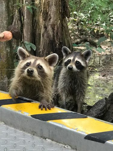 Two precious raccoons with their paws on the boat