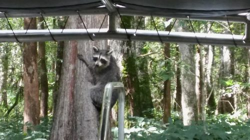 Raccoon just hanging around